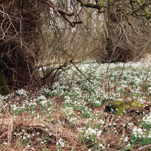Carnell Estate Snowdrops